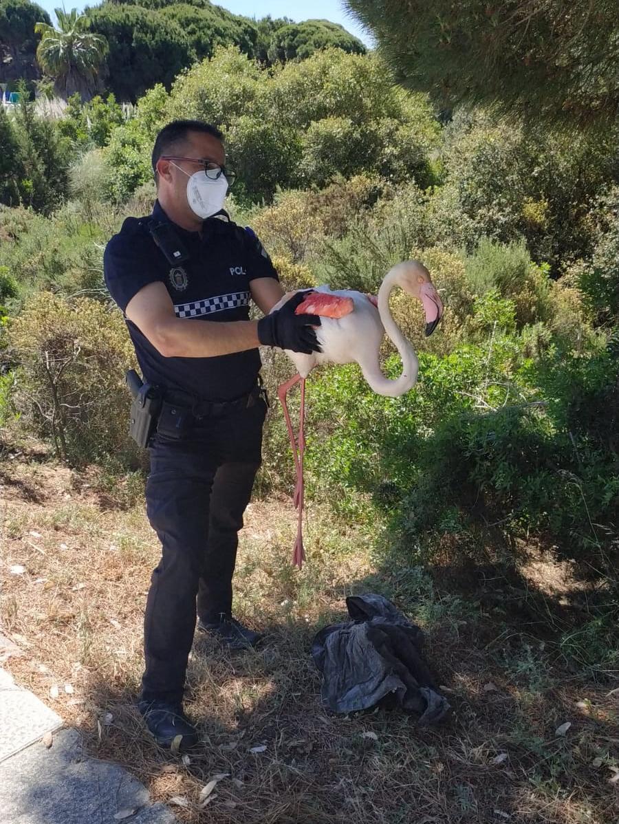 La Policía Local rescata a un flamenco herido que circulaba por la A- 5052, en Nuevo Portil